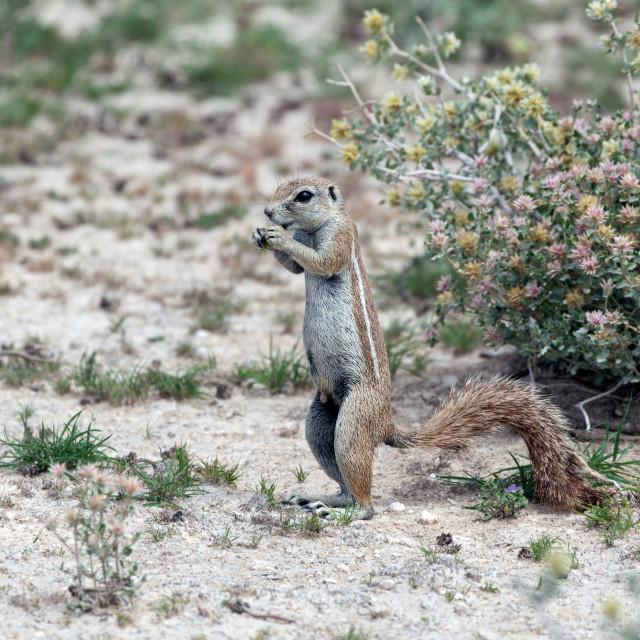 """""""Ground squirrel, Etosha National Park"""" stock image"""