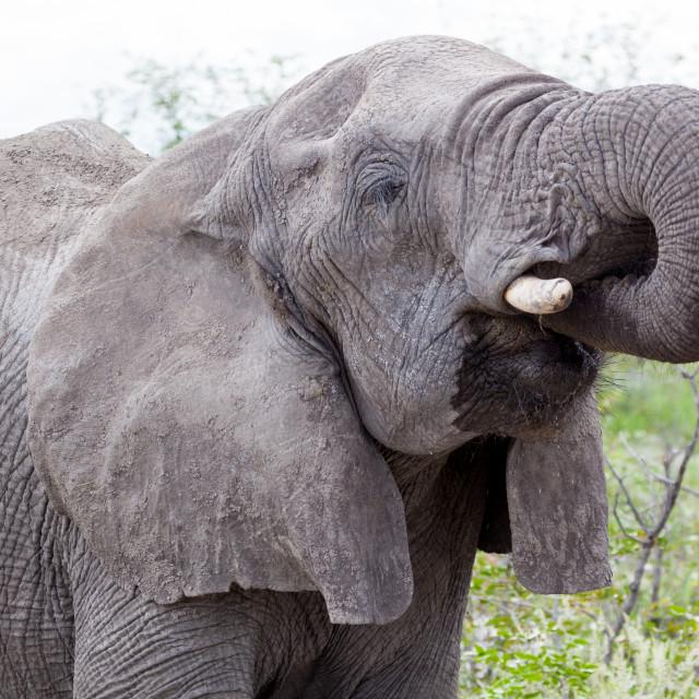 """""""Elephant, Etosha National Park"""" stock image"""