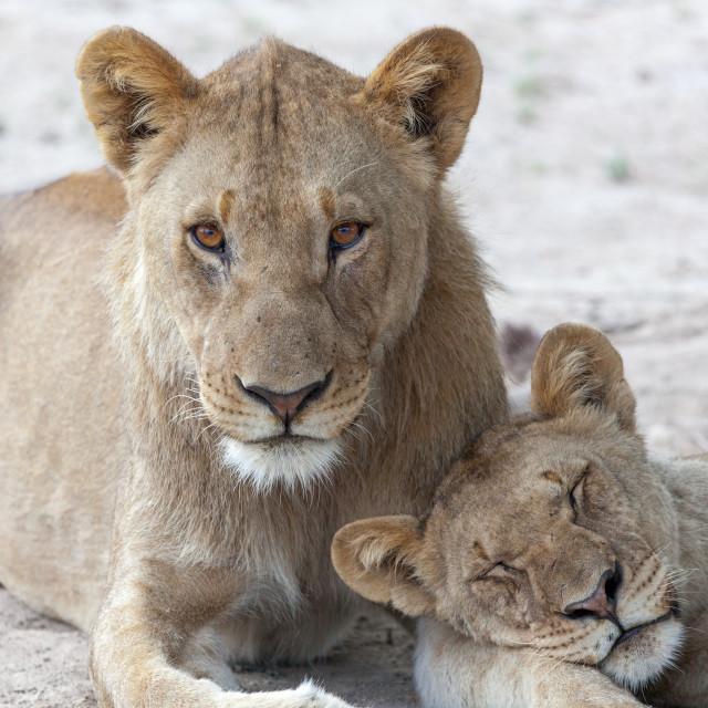 """Lions waking up ready for hunting, early evening, near Etosha Na"" stock image"