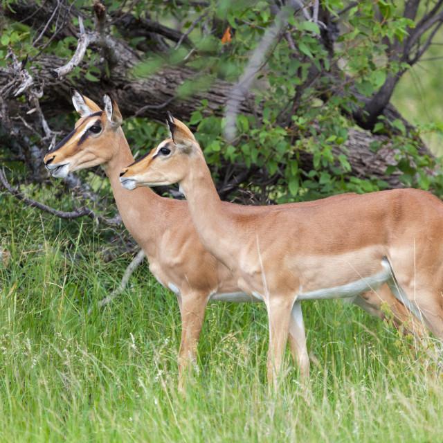 """Springbok, Etosha National Park"" stock image"