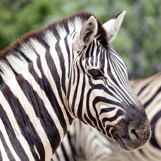 """""""Zebra, Etosha National Park"""" stock image"""