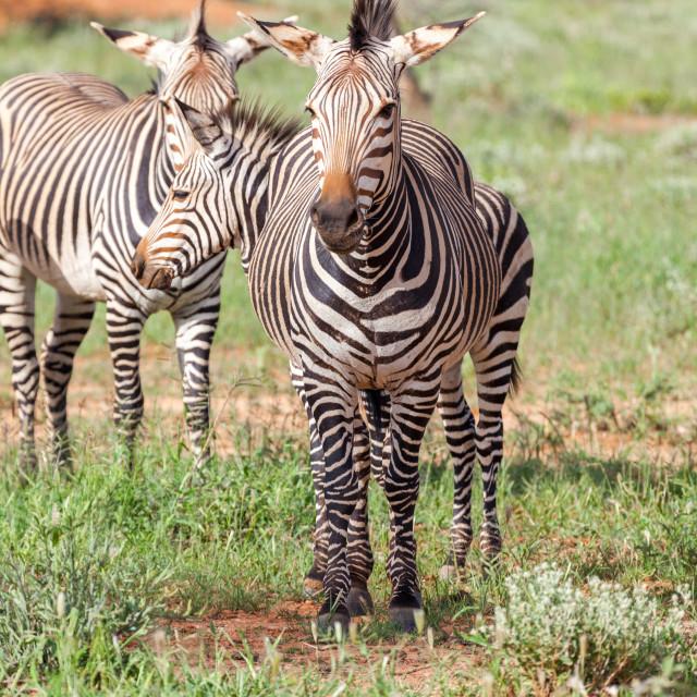 """Zebra, near Okonjima"" stock image"