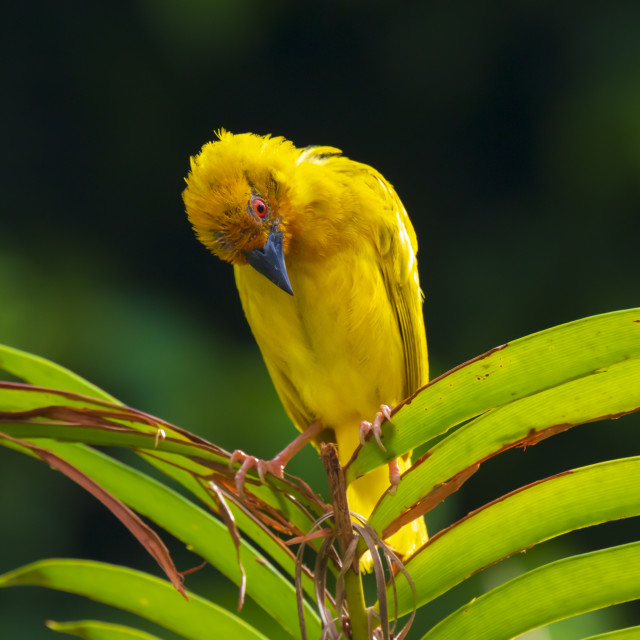 """African Eastern Golden Weaver bird Ploceus subaureus male perched on a palm..."" stock image"