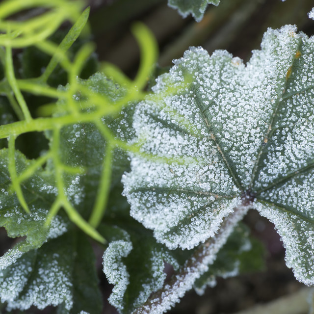 """""""Macro of a common mallow with frost."""" stock image"""