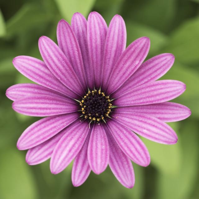 """African daisy or shrubby daisy."" stock image"