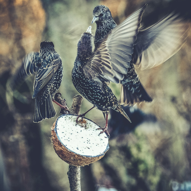 """Starlings Squabbling Over Food Ownership"" stock image"