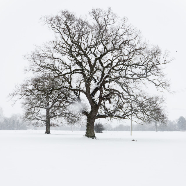 """""""Trees in a Snow Storm"""" stock image"""