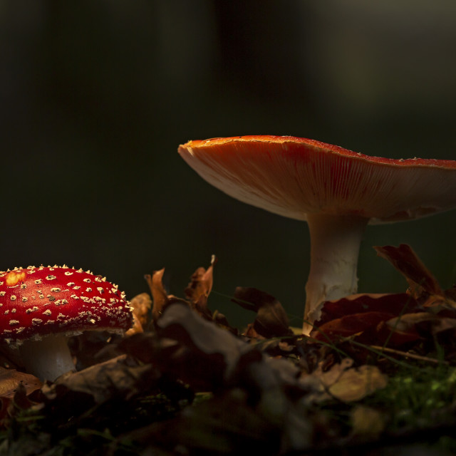 """""""Fly agaric"""" stock image"""