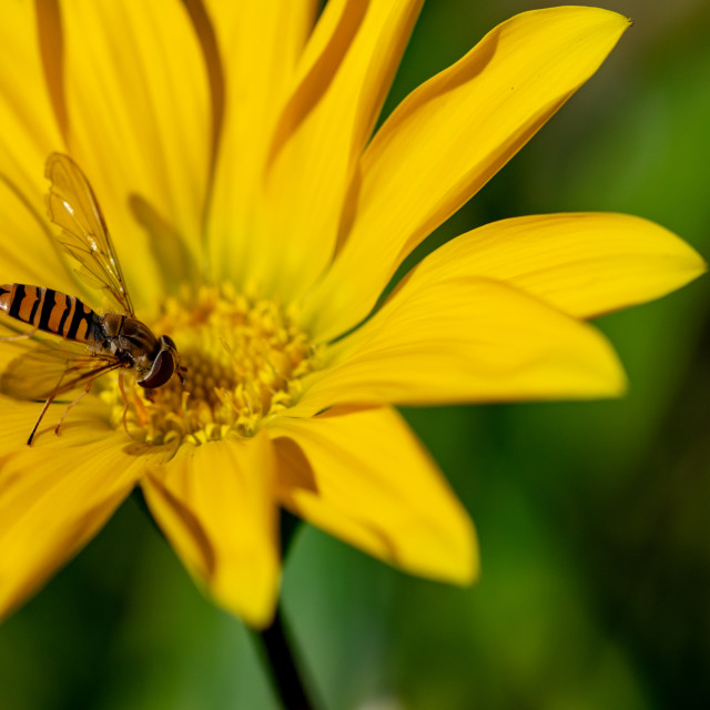 """""""Hoverfly, also known as a flower fly, or syrphid flies, collecti"""" stock image"""