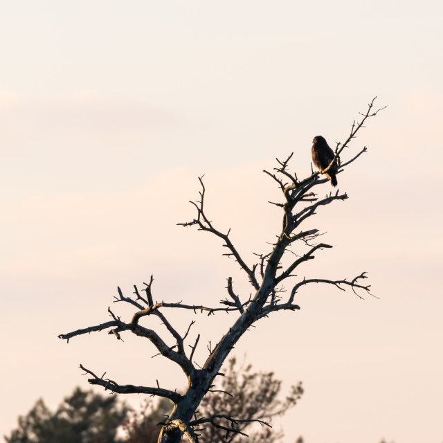 """Bird of prey in a tree top"" stock image"