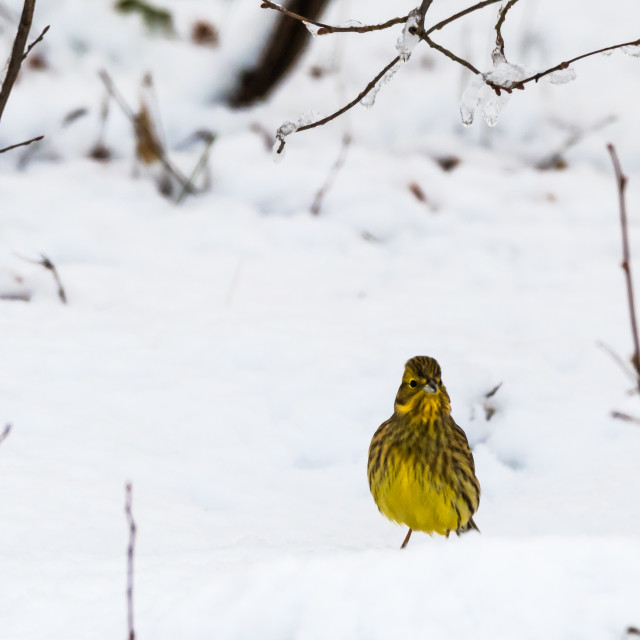 """Winterbird, male Yellowhammer"" stock image"