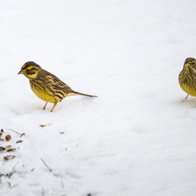 """Sparrows on a snowy ground"" stock image"