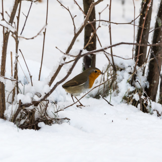 """Robin bird on snowy ground"" stock image"