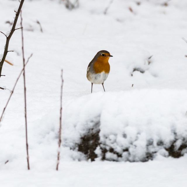 """Red Robin in winter season"" stock image"