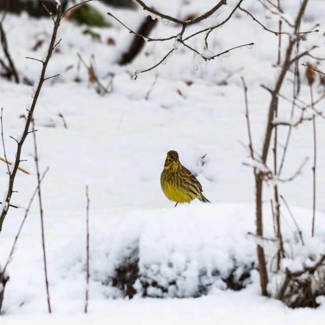 """Yellow sparrow on a snowy ground"" stock image"