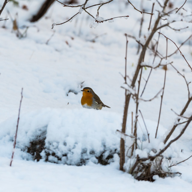 """Little red Robin on a snowy ground"" stock image"