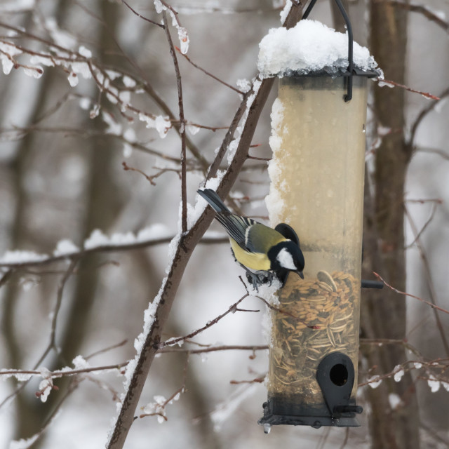 """Great Tit by a bird feeder"" stock image"