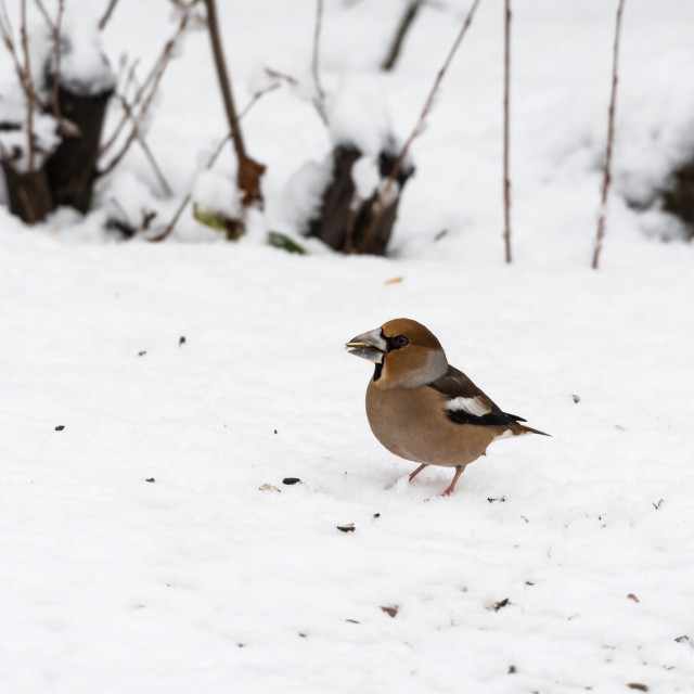 """Beautiful Hawfinch on a snowy ground"" stock image"