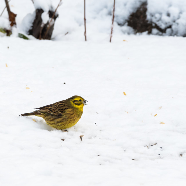 """Yellow sparrow eating on a snowy ground"" stock image"