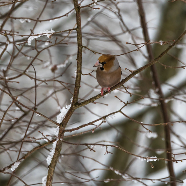 """Colorful Hawfinch bird in a tree by wintertime"" stock image"
