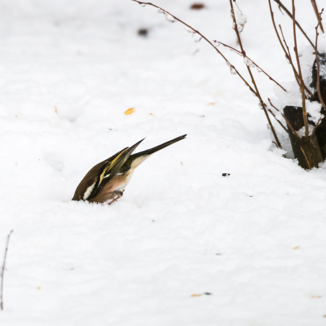 """Chaffinch looking for food under the snow"" stock image"