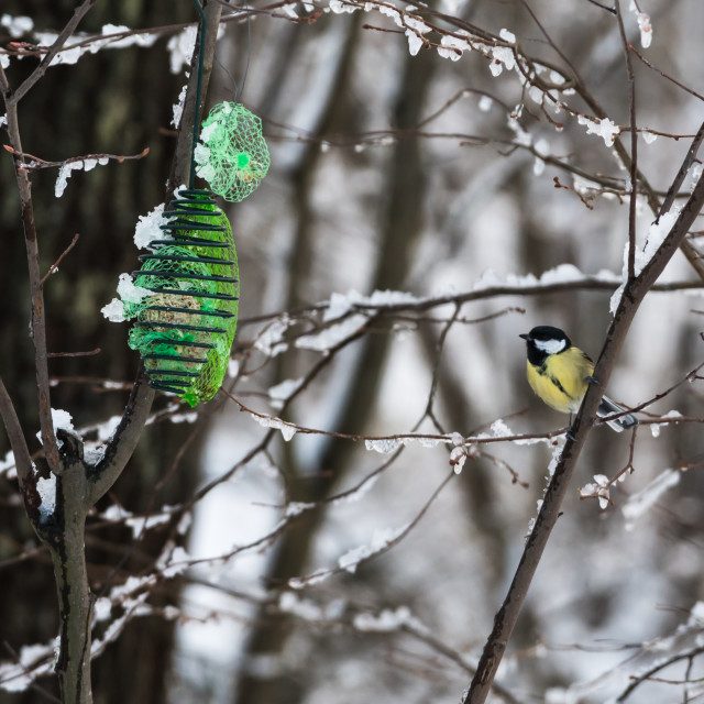 """Great Tit by a bird feeder in winter season"" stock image"