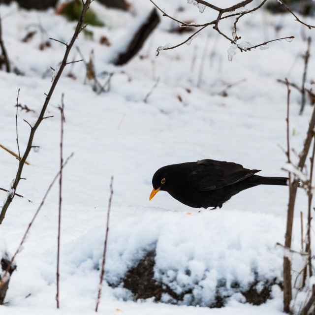 """Blackbird on a snowy ground"" stock image"