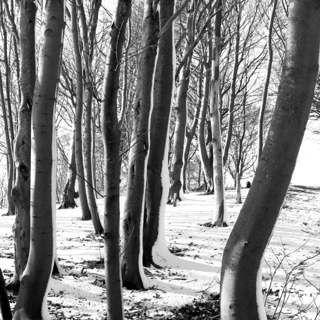 """""""Trees with Blown Snow"""" stock image"""