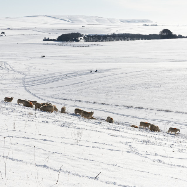 """Snowy Sheep"" stock image"