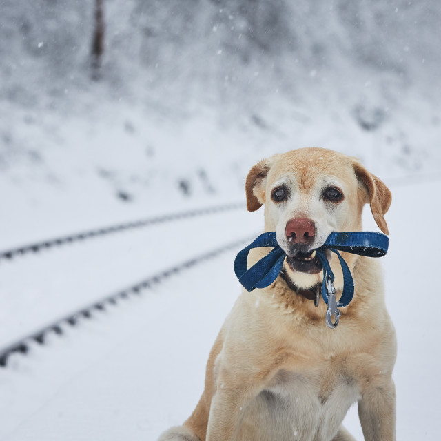 """""""Loaylty dog in winter"""" stock image"""