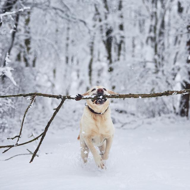 """Happy dog in winter"" stock image"
