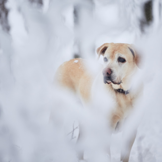 """""""Dog in snow covered forest"""" stock image"""
