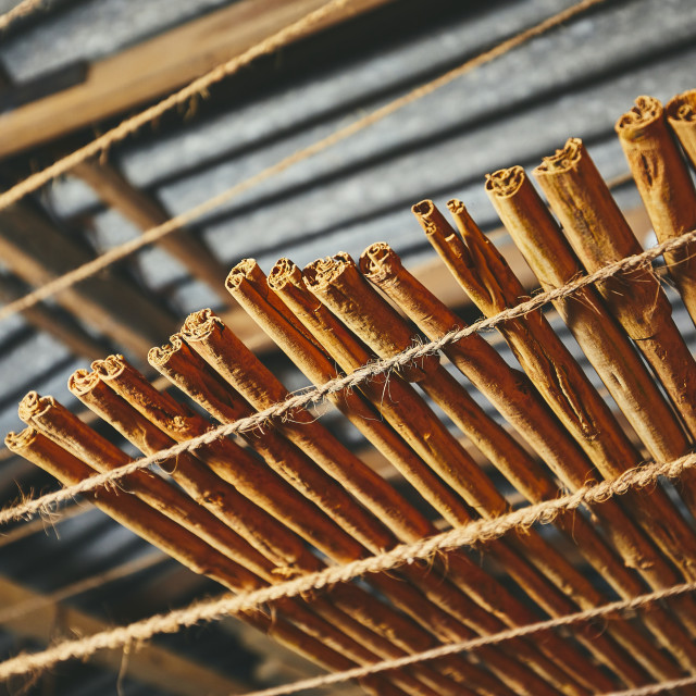 """Drying of the cinnamon sticks"" stock image"