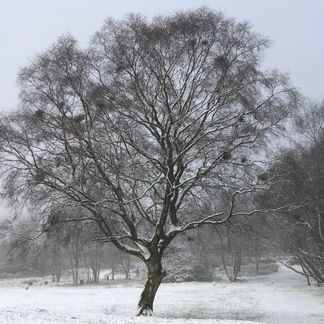 """""""Snow covered tree"""" stock image"""