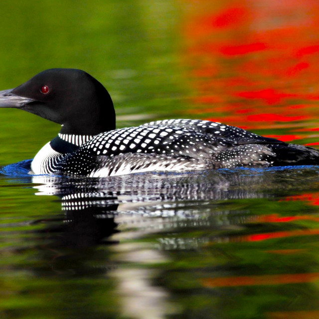 """Common Loon"" stock image"