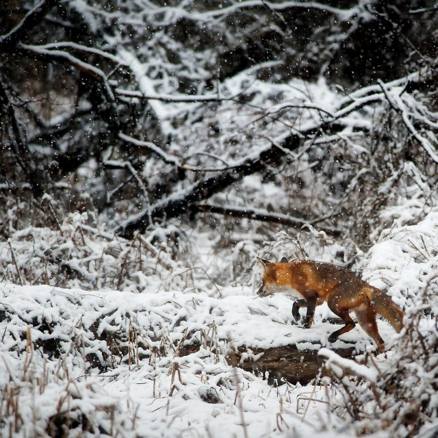 """Fox in the snow"" stock image"