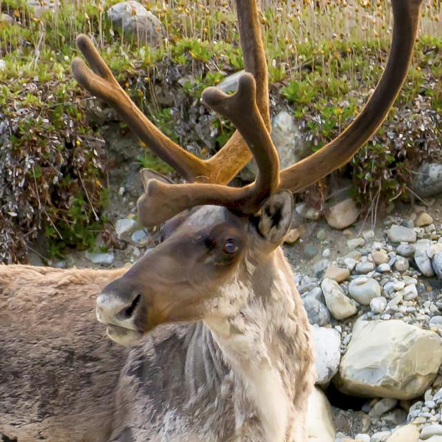"""Caribou"" stock image"