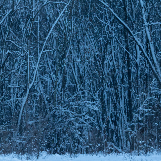 """Winter Woods"" stock image"