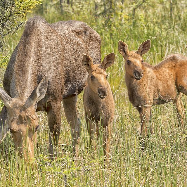 """Moose Family"" stock image"