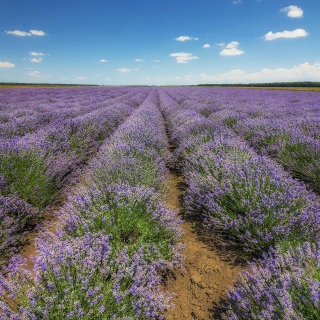 """""""Lavender flower"""" stock image"""