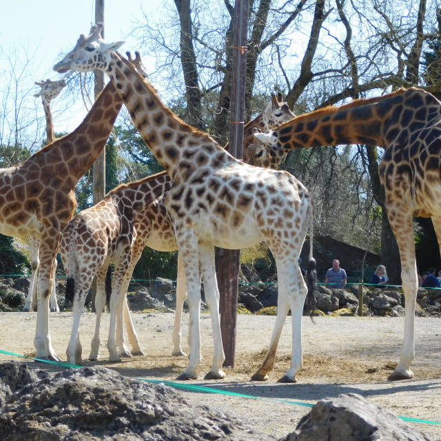 """Giraffes congregating at Paignton Zoo"" stock image"
