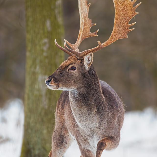 """Wild Fallow deer, dama dama, male standing in snow."" stock image"