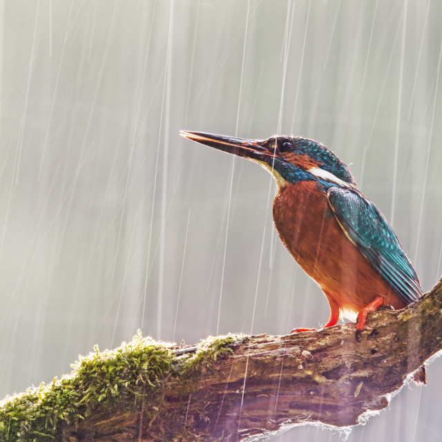 """Male common kingfisher in heavy rain with sun shining from behind."" stock image"