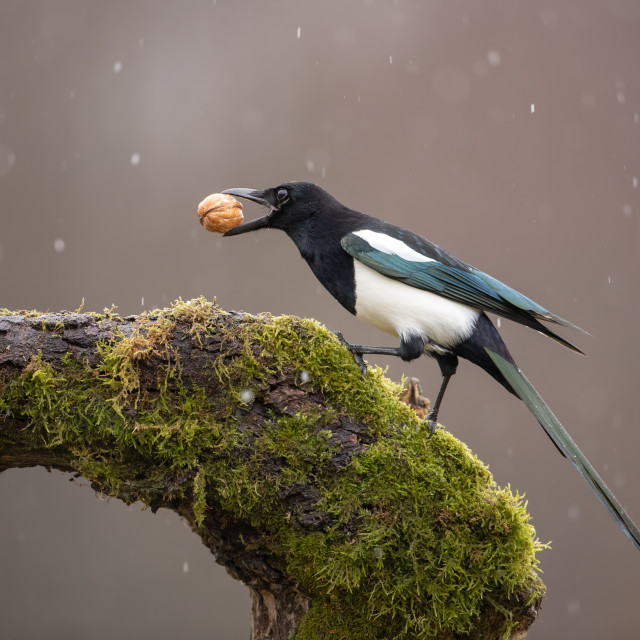 """Eurasian Magpie on moss covered branch in winter in snowfall with nut in beak."" stock image"