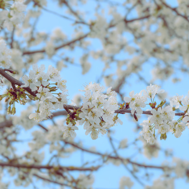 """Blooming cherry tree branch"" stock image"