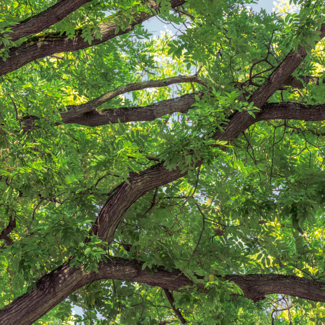 """Green leaves and tree branches"" stock image"