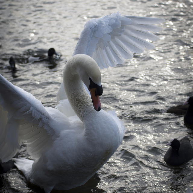 """""""Swan on the serpentine"""" stock image"""