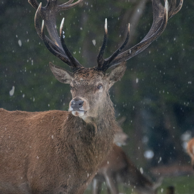 """""""Red deer stag in Richmond Park"""" stock image"""