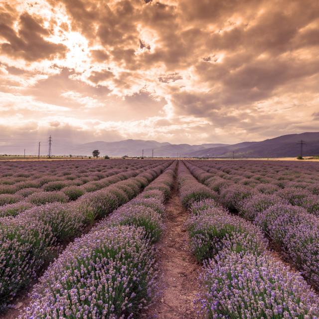 """""""Beauty lavender flowers field."""" stock image"""