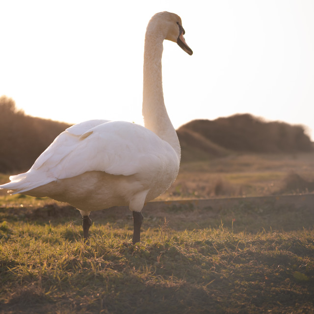 """""""Swan Keeping a Look Out"""" stock image"""